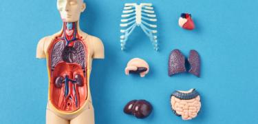 Close up of human body models.